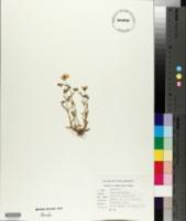 Image of Arenaria drummondii