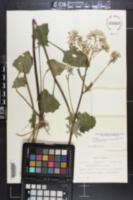 Arnoglossum diversifolium image