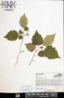 Image of Crataegus boyntonii