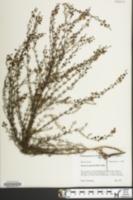Image of Seymeria cassioides