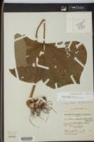 Trillium simile image