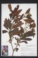 Image of Morella pubescens