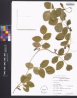 Clitoria ternatea image