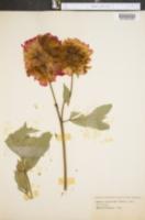 Paeonia officinalis image