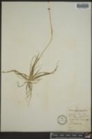 Eriocaulon septangulare image