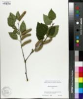 Image of Betula jacquemontii