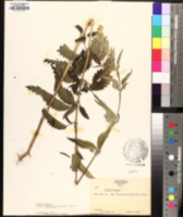 Urtica dioica subsp. holosericea image