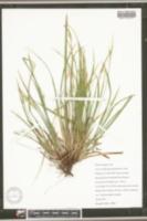 Image of Carex cordillerana