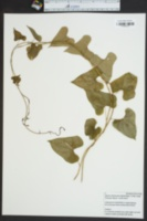 Dioscorea elephantipes image