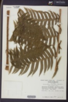Calamistrum globuliferum image
