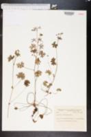 Image of Geranium incisum