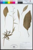 Image of Fritillaria brandegeei