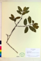 Image of Quercus calliprinos