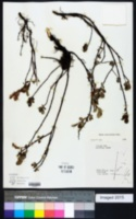 Image of Salix arbutifolia