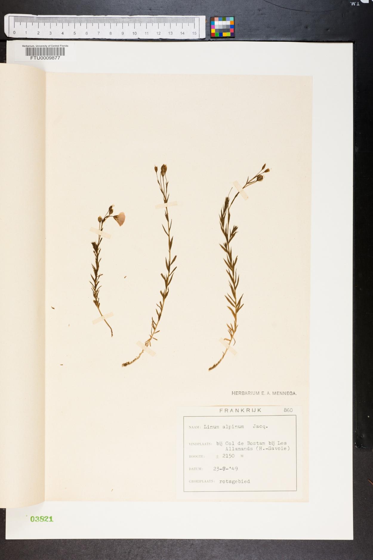 Linum alpinum image