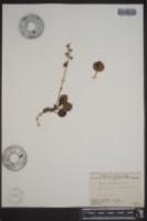 Pyrola grandiflora image