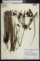 Cyperus tetragonus image