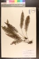 Image of Grammitis taxifolia