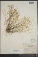 Arenaria glabra image