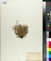 Image of Saxifraga cymbalaria
