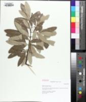 Image of Quercus incana