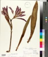 Amaryllis belladonna image