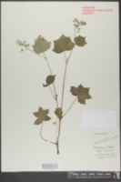 Hydrophyllum appendiculatum image