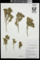 Genista linifolia image