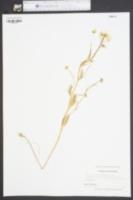 Cardamine bulbosa image