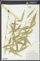 Image of Phyllostachys meyeri