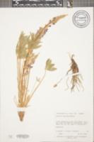 Image of Lupinus volutans