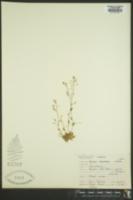 Draba stenoloba image