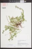 Galium pilosum var. puncticulosum image