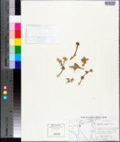 Image of Chamaesyce astyla