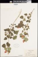 Salvia regla image