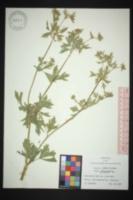 Apium graveolens var. dulce image