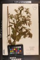 Eupatorium rugosum image