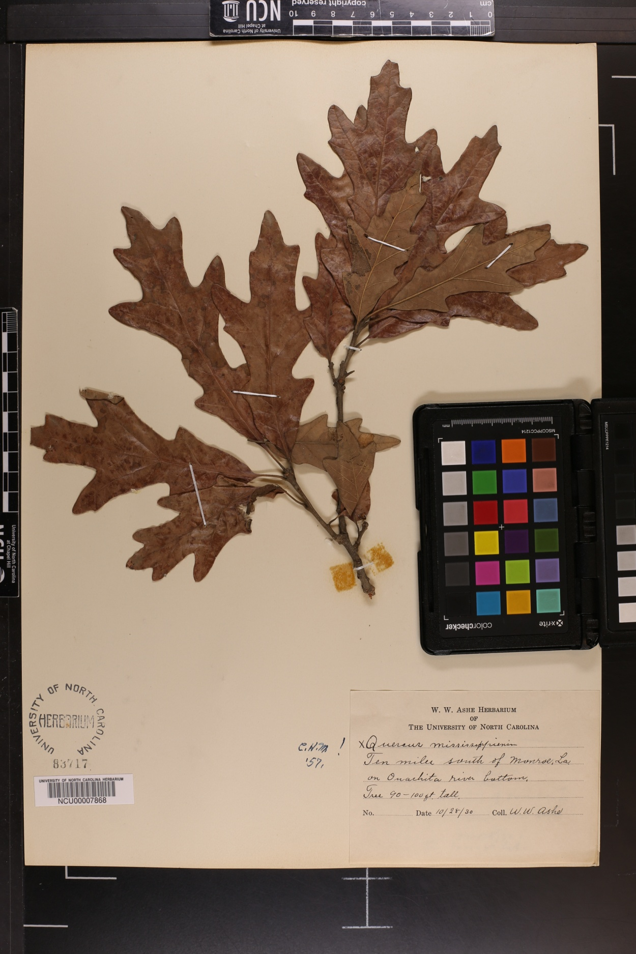 Quercus mississippiensis image