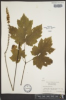 Cimicifuga rubifolia image