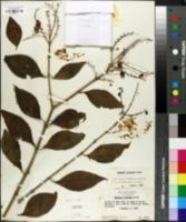 Image of Duranta obtusifolia