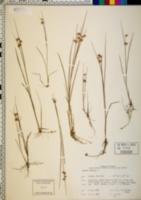 Juncus nodosus image