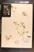 Dichondra carolinensis image