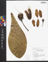 Barringtonia asiatica image