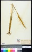 Aristida spiciformis image