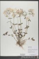 Phlox divaricata image