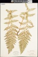 Phegopteris alpestris image