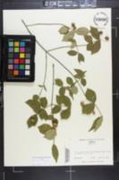 Euonymus americanus image