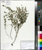 Image of Euphrasia rostkoviana