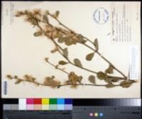 Image of Baccharis glomeruliflora