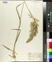 Image of Calamagrostis littorea